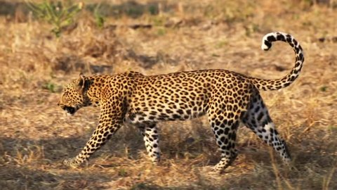 A female leopard walks with her tail curled at the Moremi Game Reserve in Botswana, Africa.