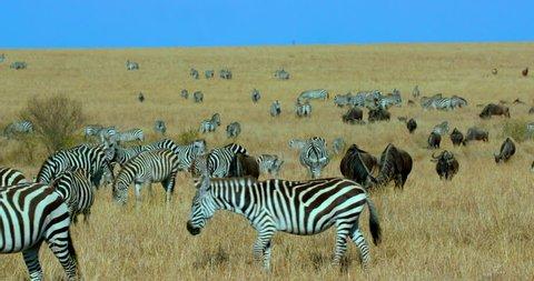 Burchell'S Zebras Walking & Blue Wildebeest Grazing; Maasai Mara Kenya Africa