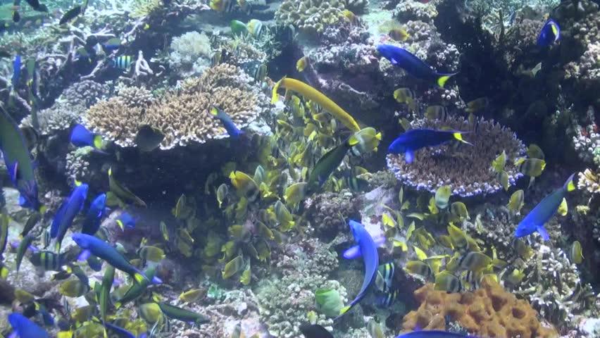 Butterfly Fish Feeding (Chaetodon kleini) And Yellow Trumpetfish (Aulostomus maculatus)