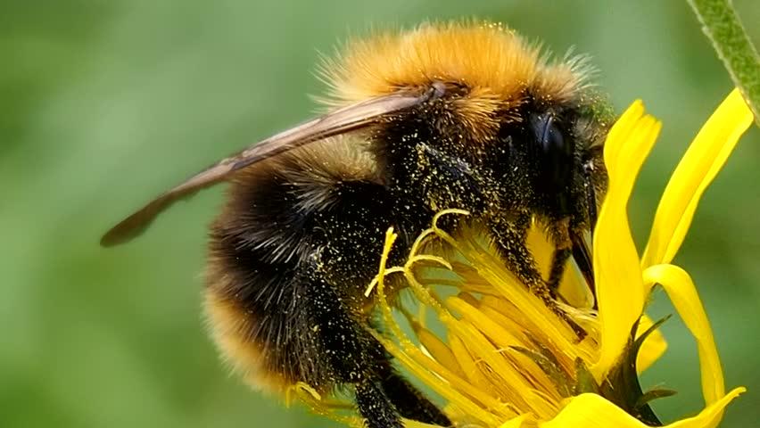 Fat Bumblebee Eats The Pollen Stock Footage Video 100 -3379