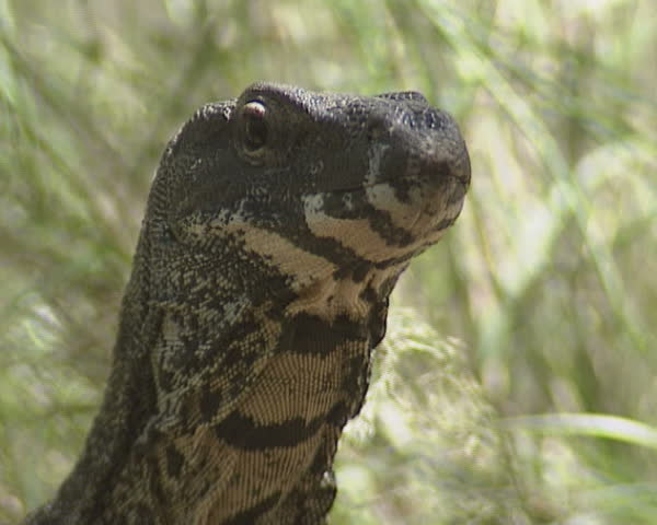 Goanna (Varanus varius) monitor lizard - close up -  Lace Monitor,  black and yellow bands extending under the chin and neck