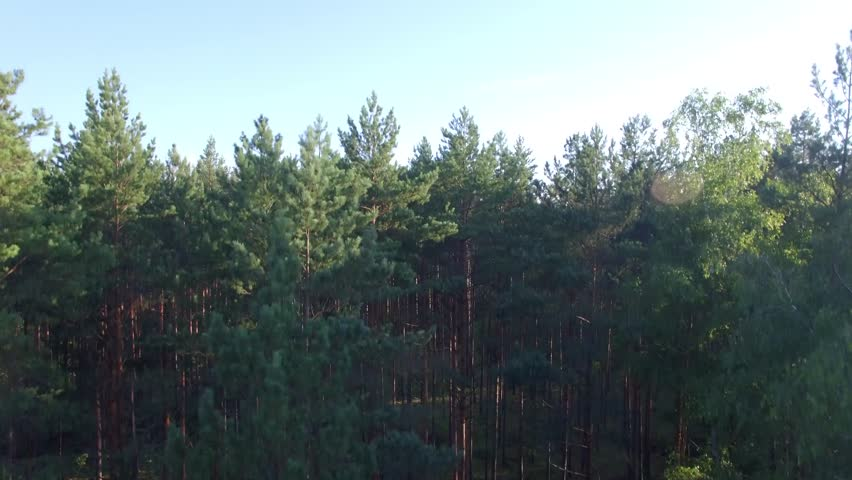 Forest trees vertical pan morning or evening aerial 4k. Moving up with crane or drone from ground level to top view in light pine wood park epic panoramic shot