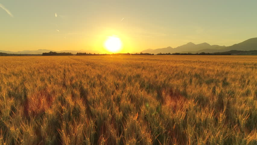 AERIAL, CLOSE UP: Flying above beautiful rural summer landscape with endless yellow wheat fields into dreamy golden light sunset. Gorgeous ripe cereal field on agricultural farmland at autumn sunrise | Shutterstock HD Video #30394723