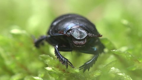 Insect macro Black Beetle Trypocopris vernalis from family Geotrupidae sits in green moss in a summer forest
