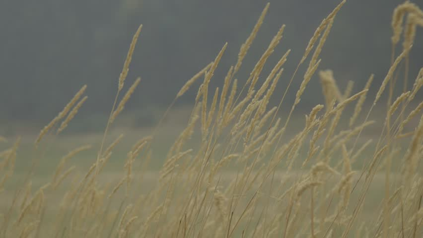 Wind blowing through a Pacific Northwest wheat field.  1080 24/fps Canon C-Log