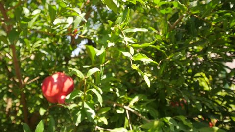 Panoramic view of the pomegranate on the tree