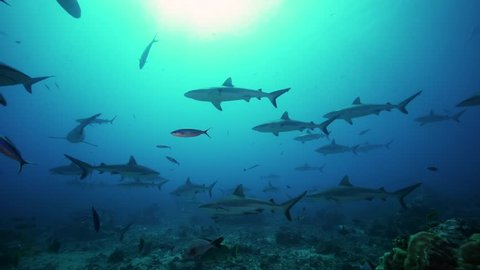large group of grey reef sharks in backlight on a coral reef in tahiti, french polynesia