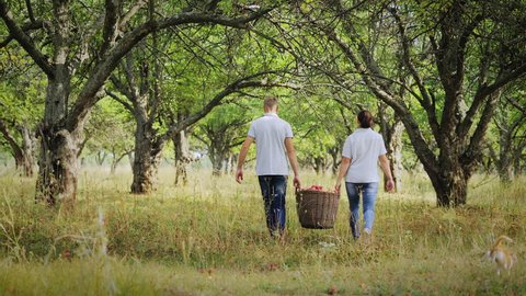 Back view of a man and a woman are carrying a full basket of apples in the apple orchard. Harvesting apples in the apple orchard. Sunny day