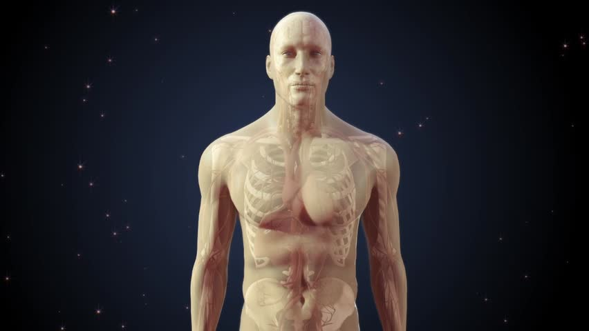 Semi transparent human man anatomical model showing interanal organs and body systems with zoom into brain and neuronal network conducting electrical impulses between synapses with night background