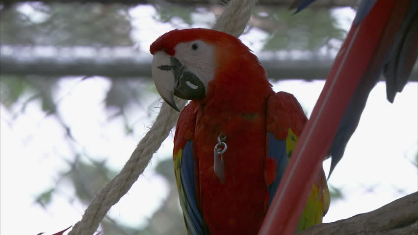 MS Scarlet Macaw (Ara macao) parrot with tracking tag / Yucatan, Mexico