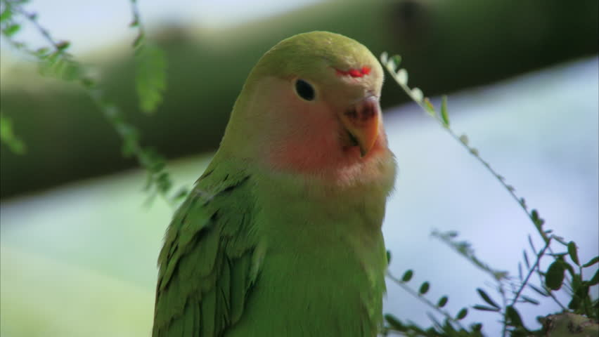 MZ ZO Rosy-faced lovebird (Agapornis roseicollis) perching on branch / Phoenix, Arizona, USA | Shutterstock HD Video #30635386
