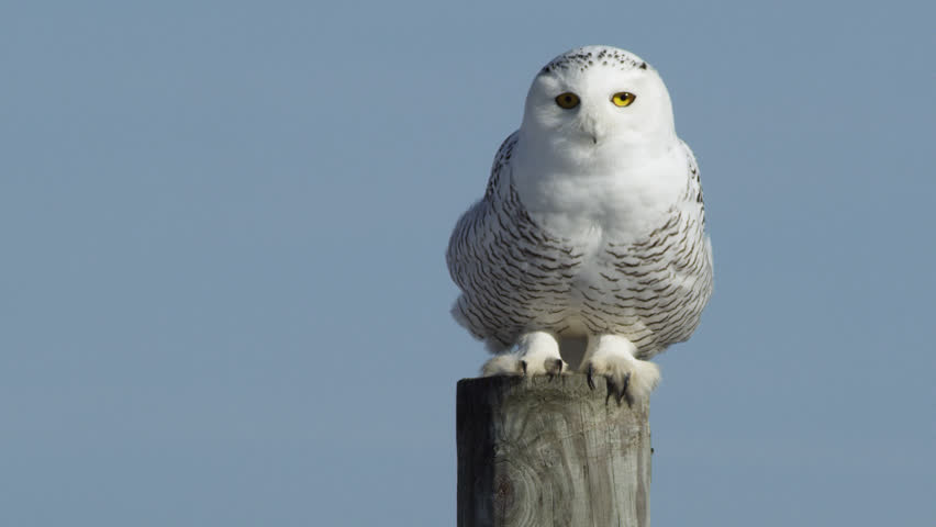 WS TS Snowy Owl (Bubo scandiacus) perching on wooden post and taking off