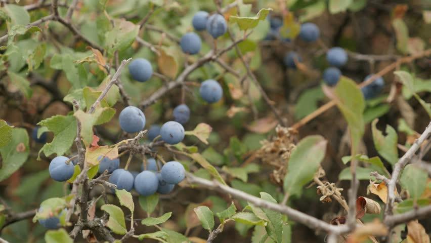 Close-up blue berries of Prunus spinosa fruit 4K 2160p 30fps UltraHD footage - Field shrub of blackthorn sloe food 3840X2160 UHD video