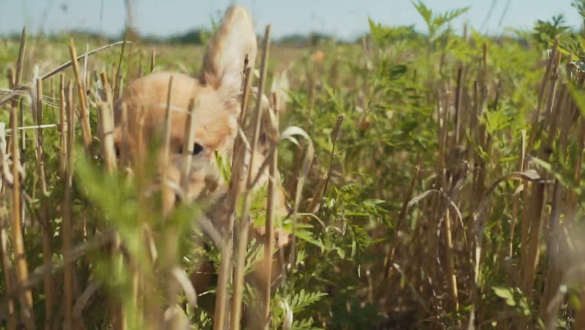 close-up of a funny puppy of chihuahua dog chasing a camera or drone in a grass on field at day.  Slow motion action