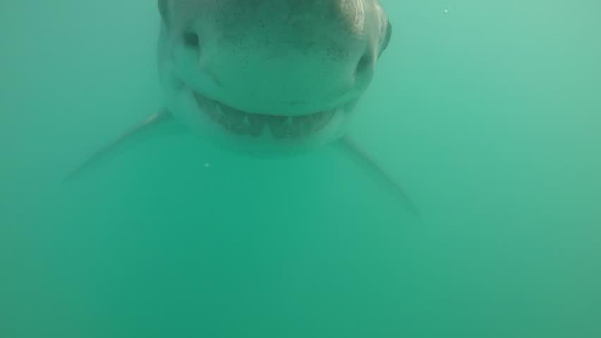 Great white shark swims head on towards camera