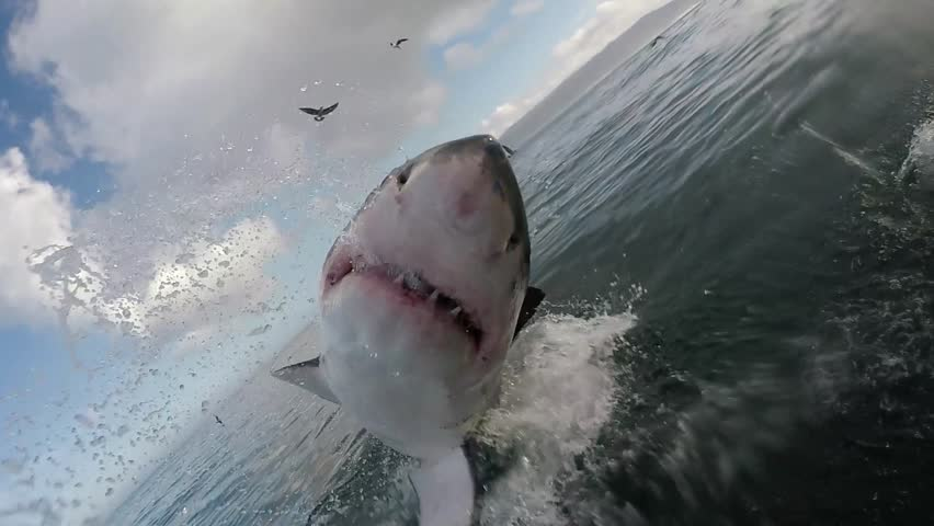 Great white shark breaches with mouth wide open