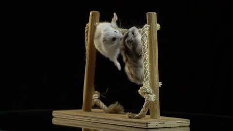 Two fluffy hamsters pull themselves up on a horizontal bar that stands on a mirror table