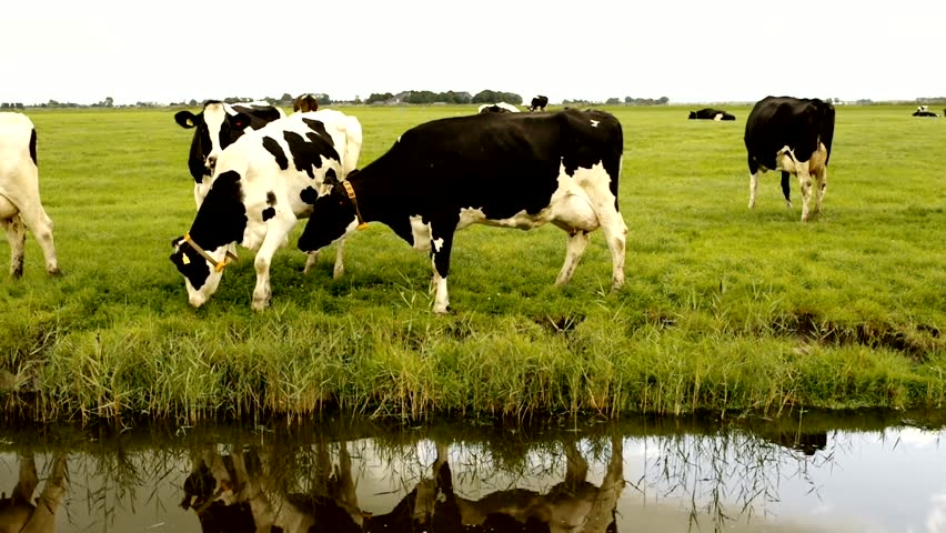 Loving, grazing and looking Holstein Friesian cows (impressive milk production) in a field in the Netherlands.