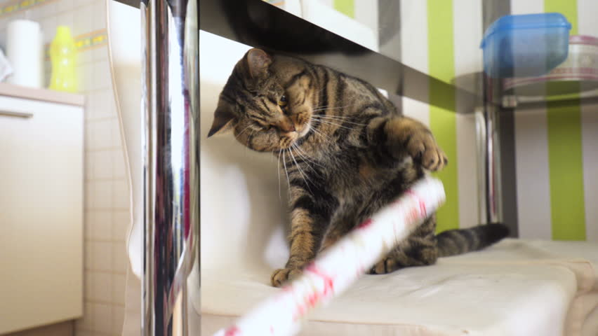 Annoyed cat on chair with rolled paper 4K. Handheld long shot of British breed cat under the table on a chair trying to grab a piece of rolled paper. | Shutterstock HD Video #30821056