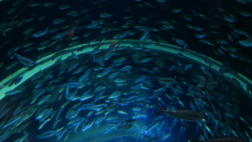 Minnow fish swimming in schools. Overhead | Shutterstock HD Video #30898696