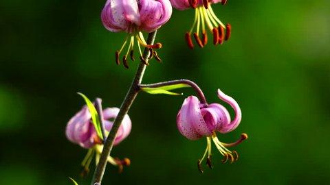 Martagon Lily, Escuain gorge, Ordesa y Monte Perdido National Park, Sobrarbe,Huesca province, Aragon, Spain, Europe
