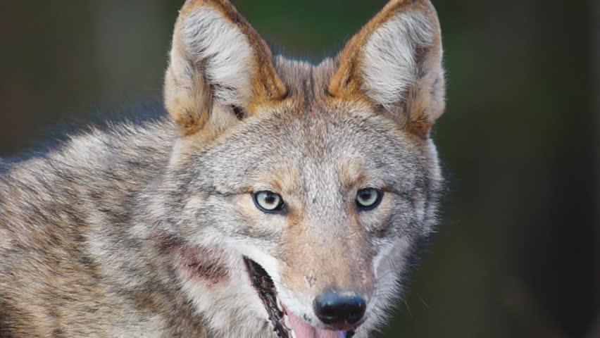 Coyote with blood on face in Georgia, slow-motion, 1/2 natural speed