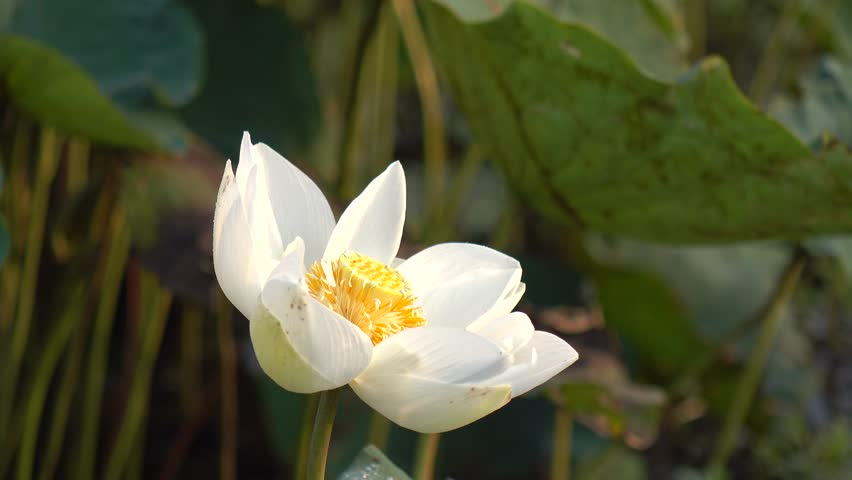 Yellow lily bloom wallpaper footage page 2 stock clips beauty blossom white lotus flower yellow pistil with green leaf background mightylinksfo