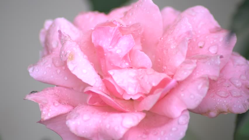Rose flower in a rainy day at Temple City, Los Angeles, California, U.S.A. | Shutterstock HD Video #30987832