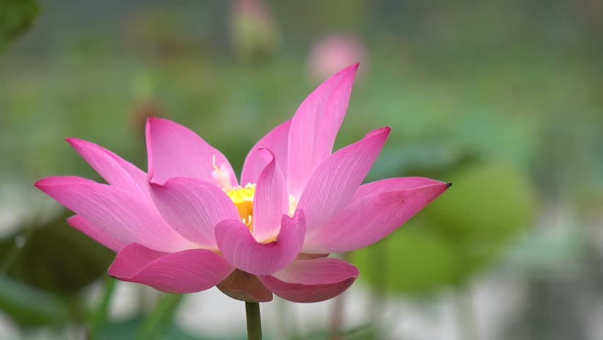 Pink Lotus Flower Or Water Lily Background Design Stock Photo Of