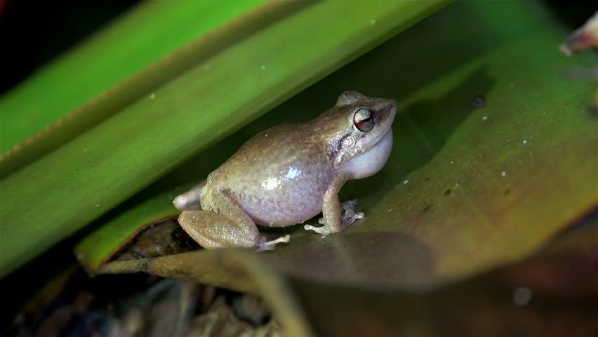 Night singing (mating calls) of common ?oqui frogs. Big island, Hawaii, USA