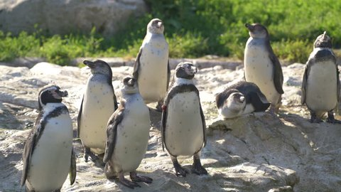 4K animal cinemagraph loop group of Humboldt Penguins on sunny day one moving