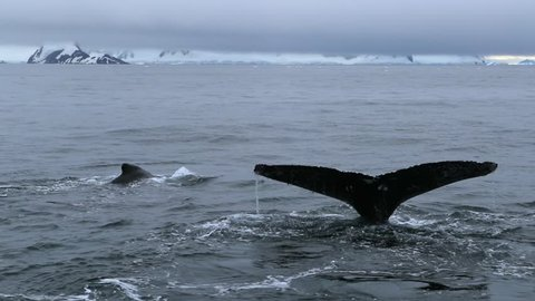 A close-up of the whale tails in the ocean. Andreev.