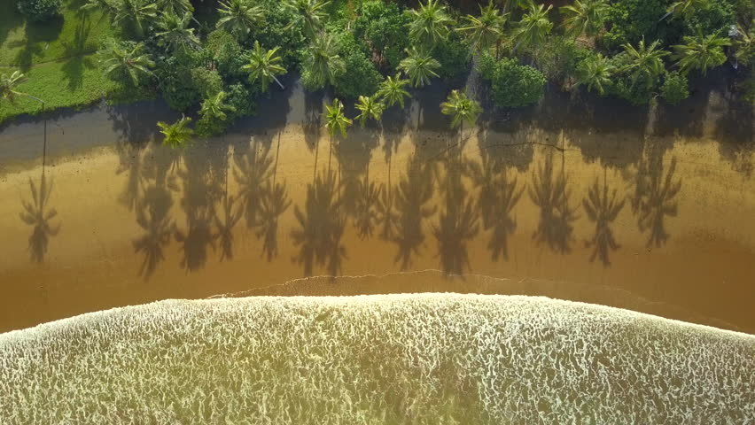 AERIAL TOP DOWN: Gorgeous lush green palm tree canopies growing in dense jungle forest on beautiful exotic beach. Small gentle foamy ocean waves washing brown sand on dreamy sunny Bali island seashore