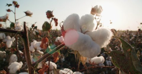 highest quality cotton is ready to harvest field at sunset