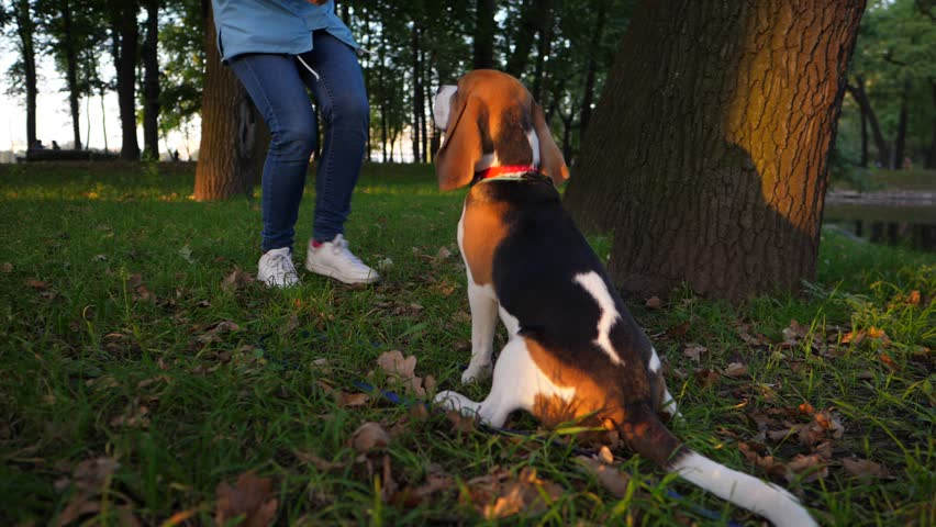 Young beagle dog sit on haunches and wait, well behaviour on given command. Woman come and give snack. Dark park at evening time, owner girl train pet for obedience