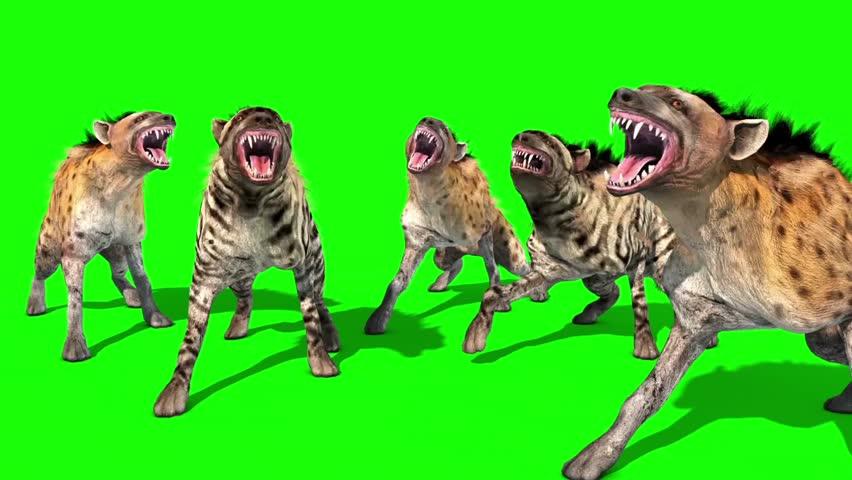 Herd of Hyenas Animals Attacks Front Green Screen 3D Rendering Animation
