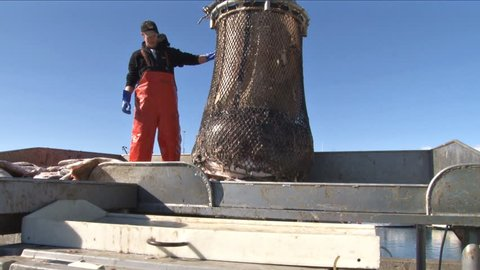 Homer, AK - CIRCA 2011: Young man releases the catch on the net and halibut spews forth onto the sorting table.
