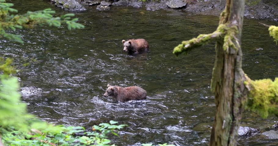 Kodiak Bear chasing Salmons