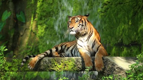 The Indochinese tiger (Panthera tigris corbetti) is a tiger subspecies occurring in Myanmar, Thailand, Lao, Viet Nam, Cambodia and southwestern China. It is listed as Endangered on the IUCN Red List