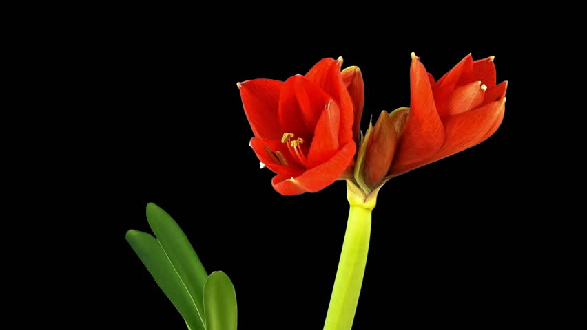 opening flower amaryllis time lapse isolated with chroma key