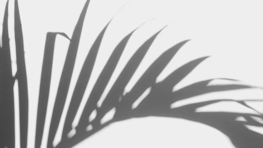 Silhouette shadow of palm leaves motion by natural wind on white wall. Slow motion