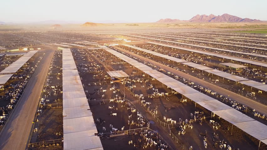 CIRCA 2010s - American West - An aerial rising shot over vast stockyards of bef cattle in the American west.