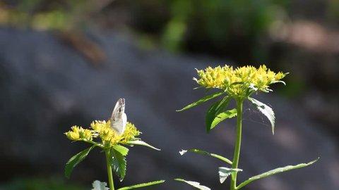 A white butterfly(Artogeia canidia) sucks the nectar from the orange stonecrop flowers(Sedum kamtschaticum Fisch. & Mey)
