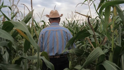 An elderly farmer walks through a cornfield. Agricultural business. He wears a cowboy hat, a blue striped shirt. Hands pushes the high stalks of corn to pass. Slow motion, view back. 4K