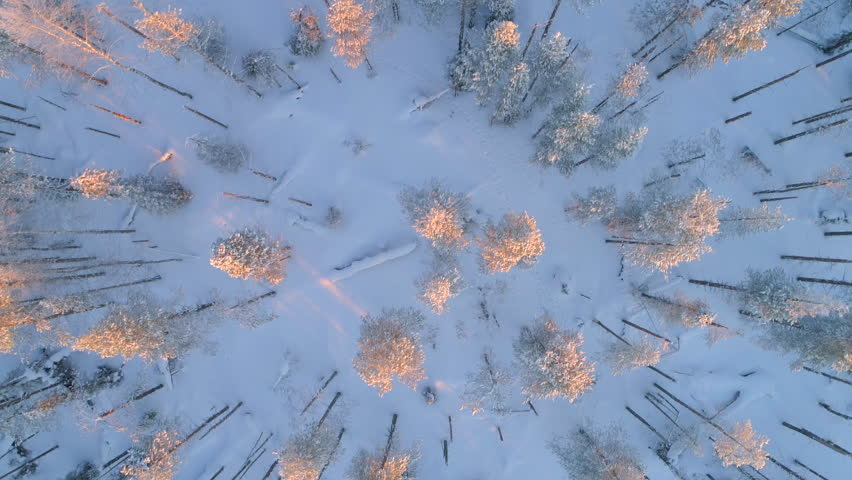 AERIAL TOP DOWN CLOSE UP: Flying above snowy pine trees at golden winter sunset. Gold sunbeams shining on pine forest covered in snow at winter sunrise. White snowy conifer woods at crack of dawn
