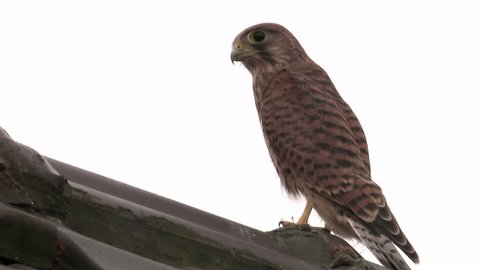 Young kestrel sitting on roof, watching - wildlife