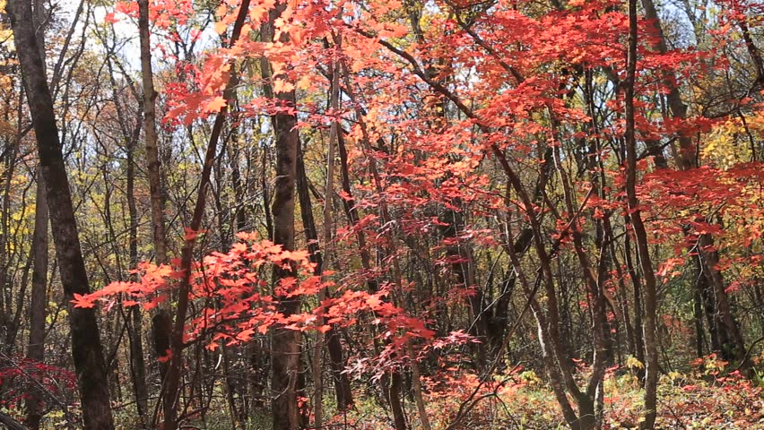 Autumn forest,sunny day, red maple leaves, wind, falling leaves | Shutterstock HD Video #31570786