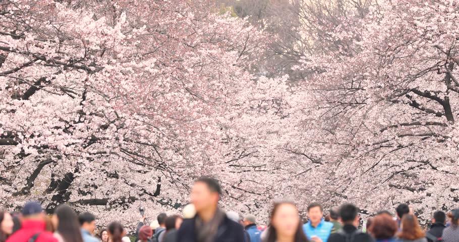 People walking under blooming cherry blossoms at Ueno park, Tokyo, Japan