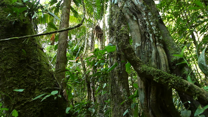 Looking up to lianas dangling from the rainforest canopy in Ecuador