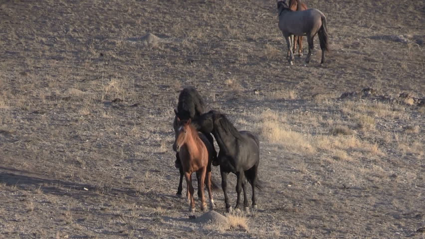 origin of the true wild horse The horses origin - where horses which is believed to be the only truly wild horse to survive to modern times, probably became extinct in the wild in mongolia in.